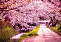 Lễ hội hoa anh đào Nhật Bản năm 2016 sẽ diễn ra tại Hoàng thành Thăng Long