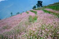 Lên cao nguyên Hà Giang ngắm cánh đồng hoa tam giác mạch